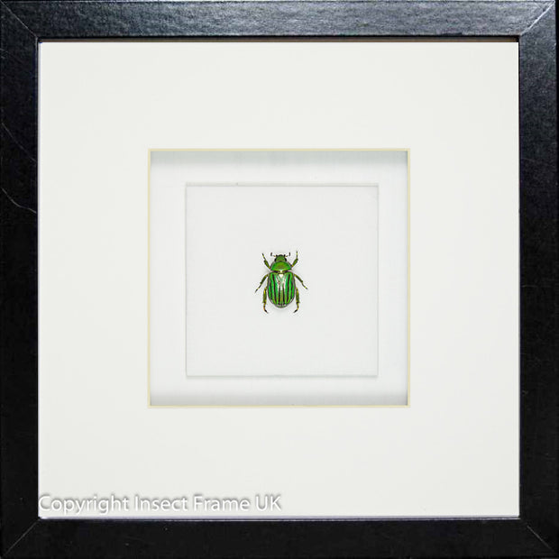 Emeralds Beetles , Beetle Frame - Insect Frame UK, Insect Frame UK  - 7