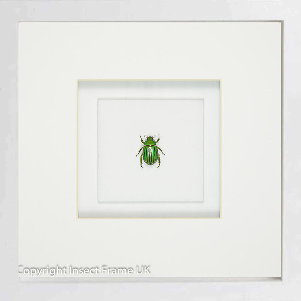 Emeralds Beetles , Beetle Frame - Insect Frame UK, Insect Frame UK  - 8