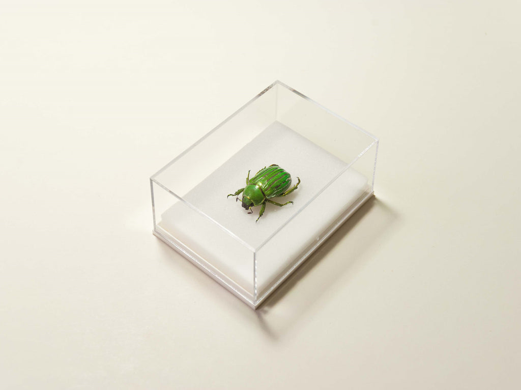 Plusiotis Gloriosa , Insect Frame - Insect Frame UK, Insect Frame UK