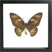 Priam's Birdwing Black Frame white background / Professional Bespoke, Butterfly Frame - Insect Frame UK, Insect Frame UK  - 2