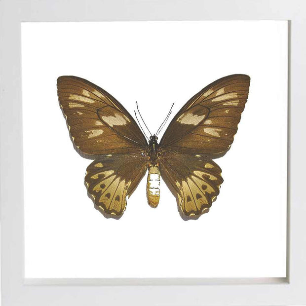 Priam's Birdwing White Frame white background / Professional bespoke, Butterfly Frame - Insect Frame UK, Insect Frame UK  - 3