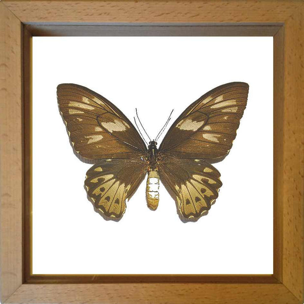 Priam's Birdwing Wood Frame white background / Professional Bespoke, Butterfly Frame - Insect Frame UK, Insect Frame UK  - 1