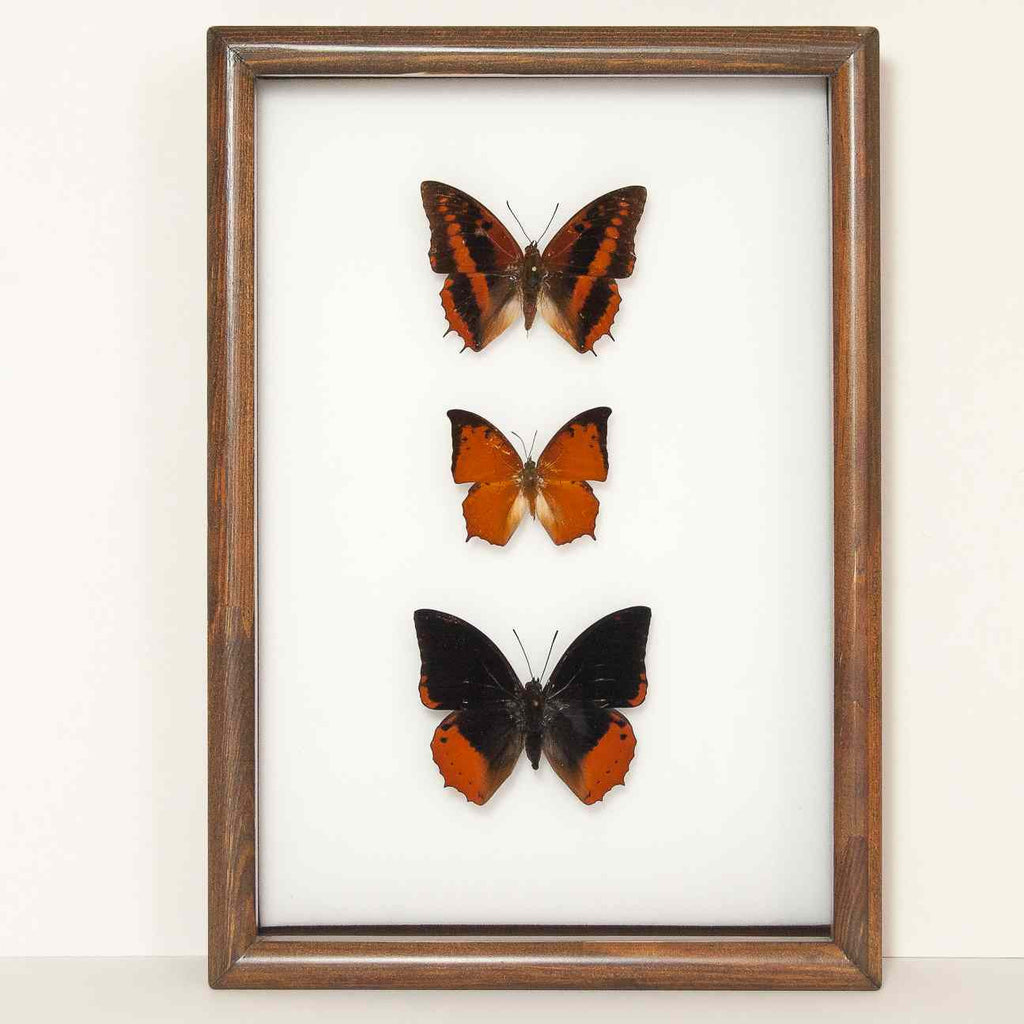 African Charaxes Collection white background, Butterfly Frame - Insect Frame UK, Insect Frame UK  - 1
