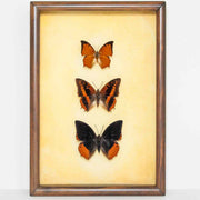 African Charaxes Collection golden background, Butterfly Frame - Insect Frame UK, Insect Frame UK  - 2