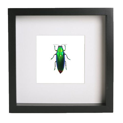 Iridescent Beetle - Insect Frame UK