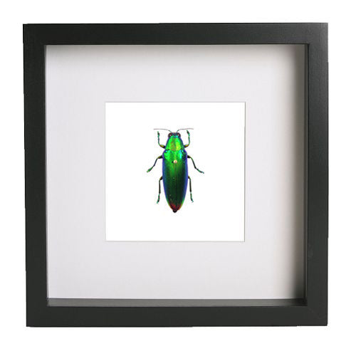 Iridescent Beetle Black Frame - White Background, Beetle Frame - Insect Frame UK, Insect Frame UK  - 2