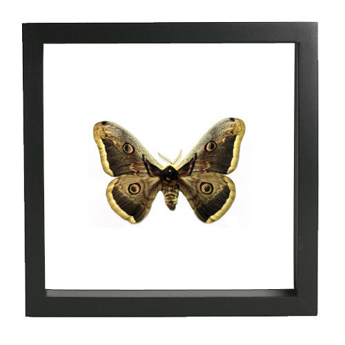 Giant Peacock Silkmoth Black Frame - White Background, Moth Frame - Insect Frame UK, Insect Frame UK  - 2