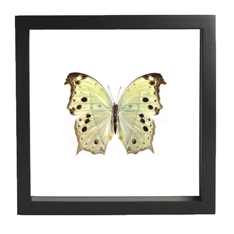 Protogoniomorpha Parhassus Butterfly Black Frame - White Background, Butterfly Frame - Insect Frame UK, Insect Frame UK  - 1
