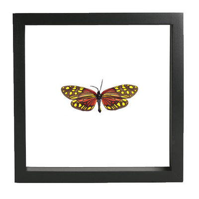 Red Tropical Zyganidae Moth - Insect Frame UK