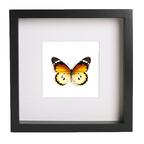 African Monarch Monarch Black Frame - White Background, Butterfly Frame - Insect Frame UK, Insect Frame UK  - 1