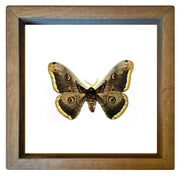 Giant Peacock Silkmoth Oak Frame - White Background, Moth Frame - Insect Frame UK, Insect Frame UK  - 1