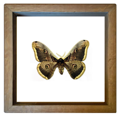 Giant Peacock Silkmoth - Insect Frame UK