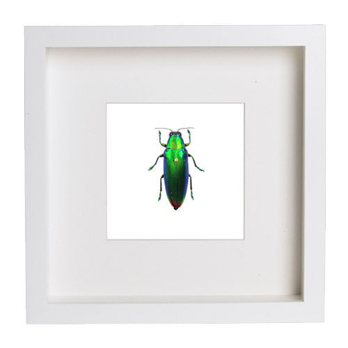 Iridescent Beetle White Frame - White Background, Beetle Frame - Insect Frame UK, Insect Frame UK  - 3