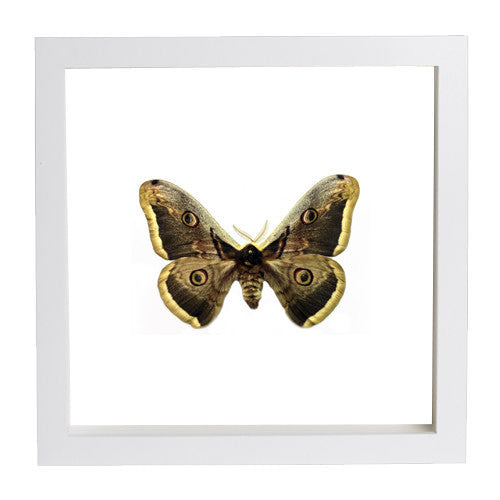 Giant Peacock Silkmoth White Frame - White Background, Moth Frame - Insect Frame UK, Insect Frame UK  - 3