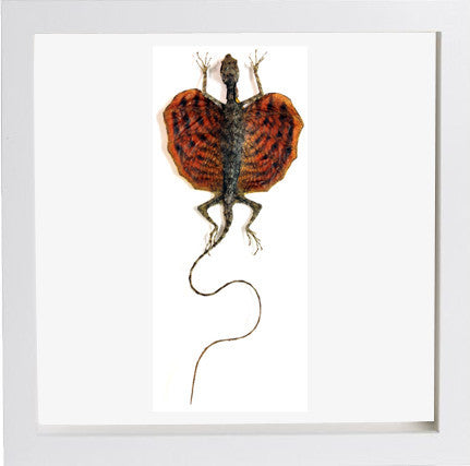 Red Flying Dragon - Draco Spilonotus - Insect Frame UK