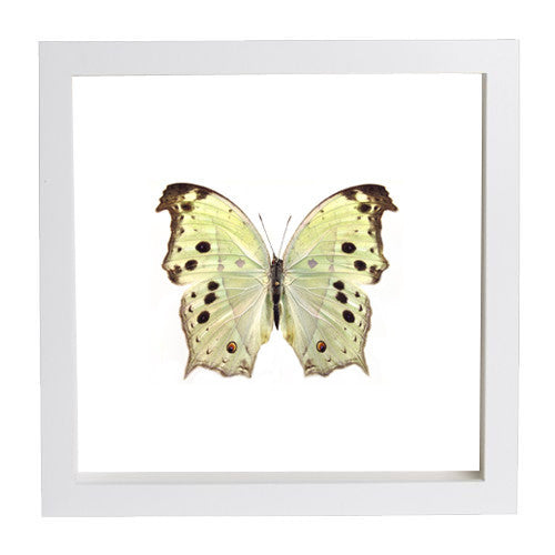 Protogoniomorpha Parhassus Butterfly - Insect Frame UK