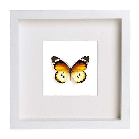 Danaus - Insect Frame UK