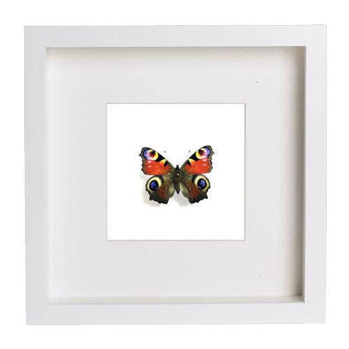 Peacock Butterfly White Frame - White Background, Butterfly Frame - Insect Frame UK, Insect Frame UK  - 2