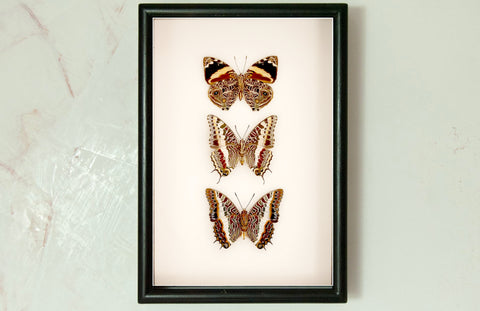 Blomfild's Beauty Giant Emperor and White-Barred Emperor - Insect Frame UK