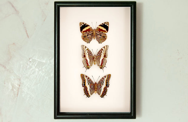 Blomfild's Beauty giant emperor and  white-barred emperor Solid wood  21x30, Butterfly Frame - Insect Frame UK, Insect Frame UK