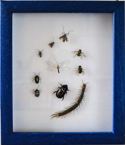 Peruvian Insects Collection , Insect Frame - Insect Frame UK, Insect Frame UK