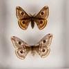 Emperor Silkmoths Couple , Moth Frame - Insect Frame UK, Insect Frame UK  - 2