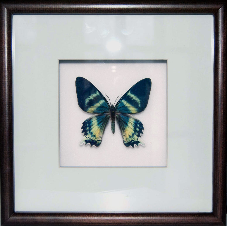 Alcides orontes - Insect Frame UK