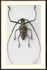 Wallace's long horn beetle Wood Single, Beetle Frame - Insect Frame UK, Insect Frame UK  - 3