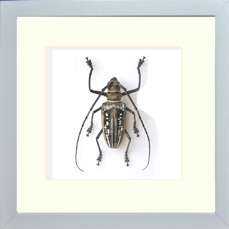 Wallace's long horn beetle White Single, Beetle Frame - Insect Frame UK, Insect Frame UK  - 1