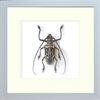 Wallace's long horn beetle - Insect Frame UK