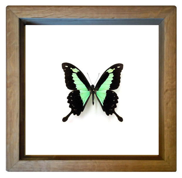 Framed Green Swallowtail Butterfly Oak Frame - White Background, Butterfly Frame - Insect Frame UK, Insect Frame UK  - 3