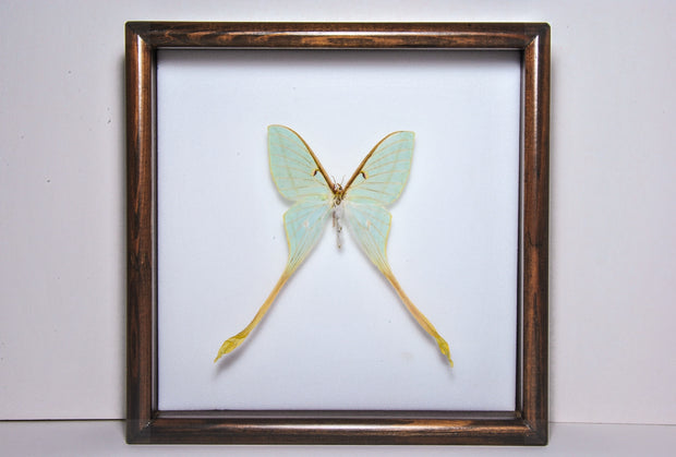Actias Dubernardi Moon Moth Solid wood 25x25 dark brown, Moth Frame - Insect Frame UK, Insect Frame UK  - 1