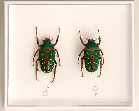 Stephanorrhina guttata Pair beetles , Insect Frame - Insect Frame UK, Insect Frame UK  - 2
