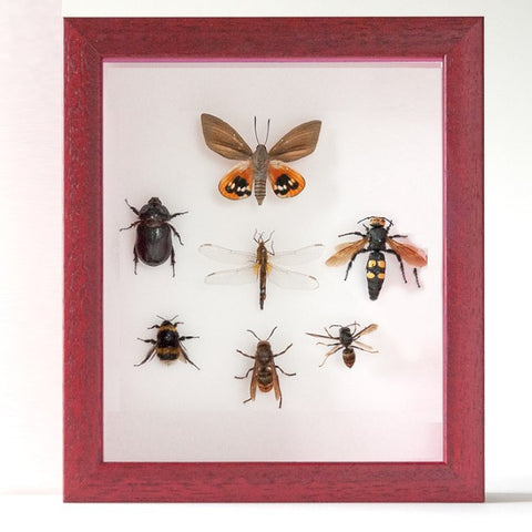 Hornet, bees, vespa Red framed Insect of Provence, Insect Frame - Insect Frame UK, Insect Frame UK  - 2