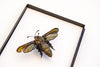 Bumblebee Moth Couple - Insect Frame UK