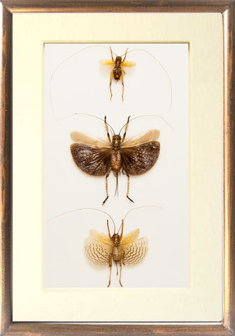 Marvellous Bush Crickets - Insect Frame UK