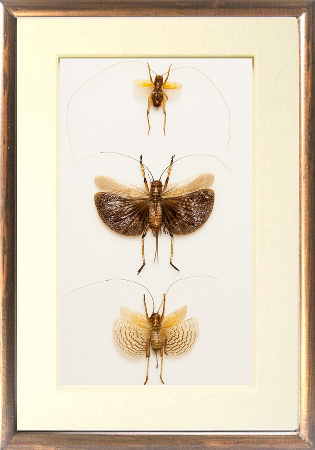 Marvellous Bush Crickets Three Crickets brown frame, Insect Frame - Insect Frame UK, Insect Frame UK