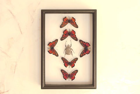 Dancing Tribes Dancing tribe -black, Butterfly Frame - Insect Frame UK, Insect Frame UK  - 1