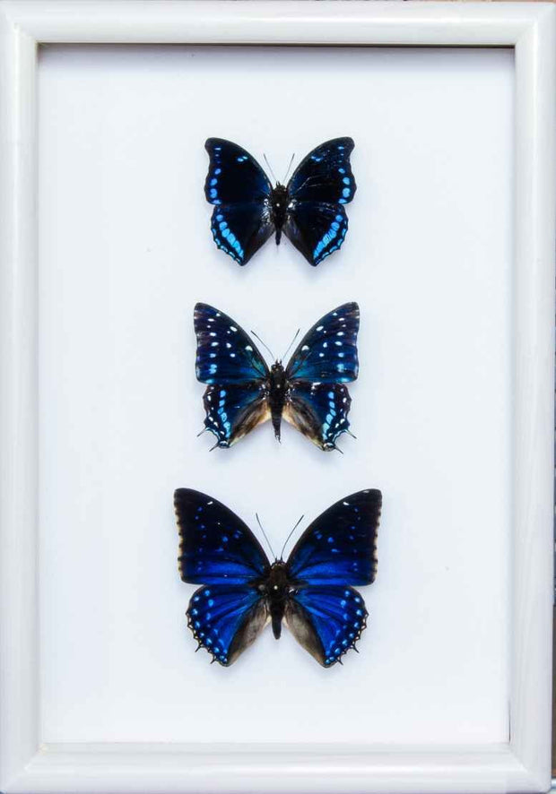 """Out of the Blue"" Collection Trio blue 21x30 on white frame, Butterfly Frame - Insect Frame UK, Insect Frame UK  - 2"