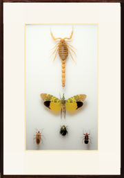 South-East Asia Collections - Insect Frame UK