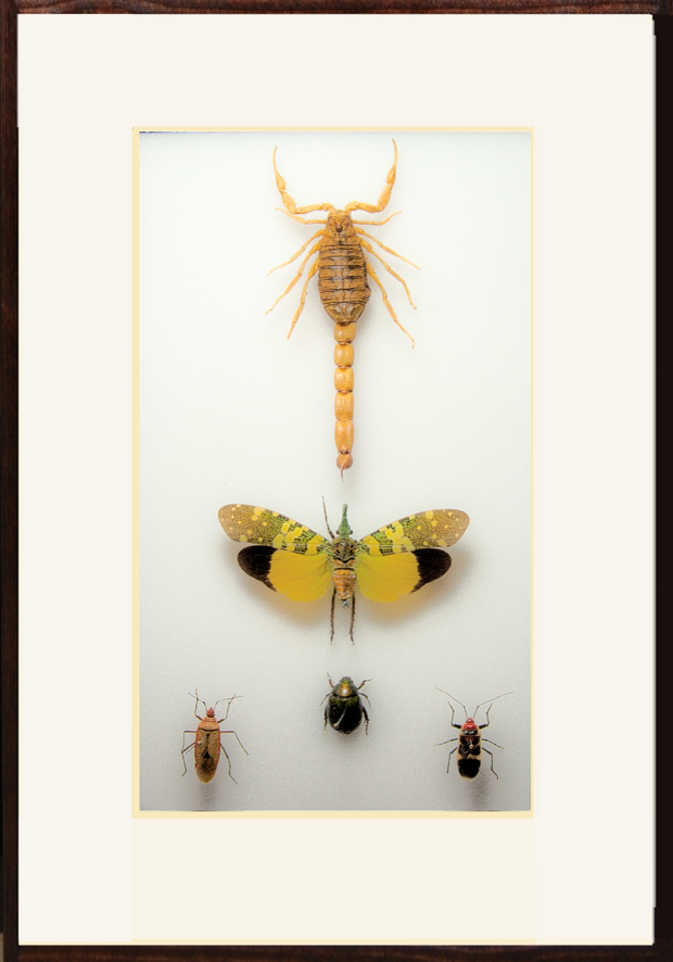 South-East Asia collections , Insect Frame - Insect Frame UK, Insect Frame UK