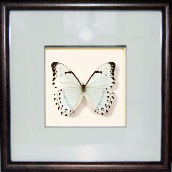 White Moon - Insect Frame UK