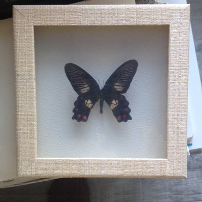 Temperate Asia Butterfly - Insect Frame UK