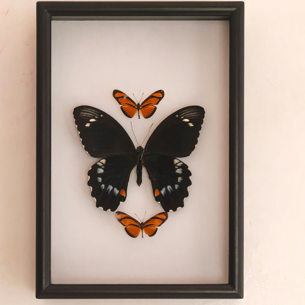 Having Things in Common 21x30 / Black, Butterfly Frame - Insect Frame UK, Insect Frame UK  - 1