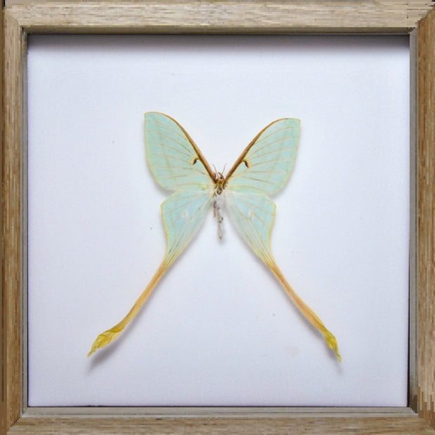 Actias Dubernardi Moon Moth Oak Frame - White Background, Moth Frame - Insect Frame UK, Insect Frame UK  - 4