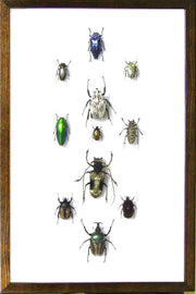 Insects and Beetles from Africa Dark brown 11 horizontal Frame, Beetle Frame - Insect Frame UK, Insect Frame UK  - 1