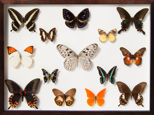 Collection of Indonesian Butterflies Walnut, Natural History Collection - Insect Frame UK, Insect Frame UK  - 1