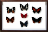 Sangaris Butterfly Collection Walnut, Natural History Collection - Insect Frame UK, Insect Frame UK  - 2