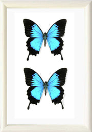 Blue Mountain Solid wood 21x30 DUO White, Butterfly Frame - Insect Frame UK, Insect Frame UK  - 4