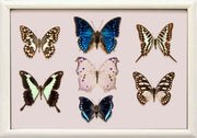 Afrički ītä-wālï Butterfly Collection (suitcase gift option) Sisters of Africa white frame, Butterfly Frame - Insect Frame UK, Insect Frame UK  - 3